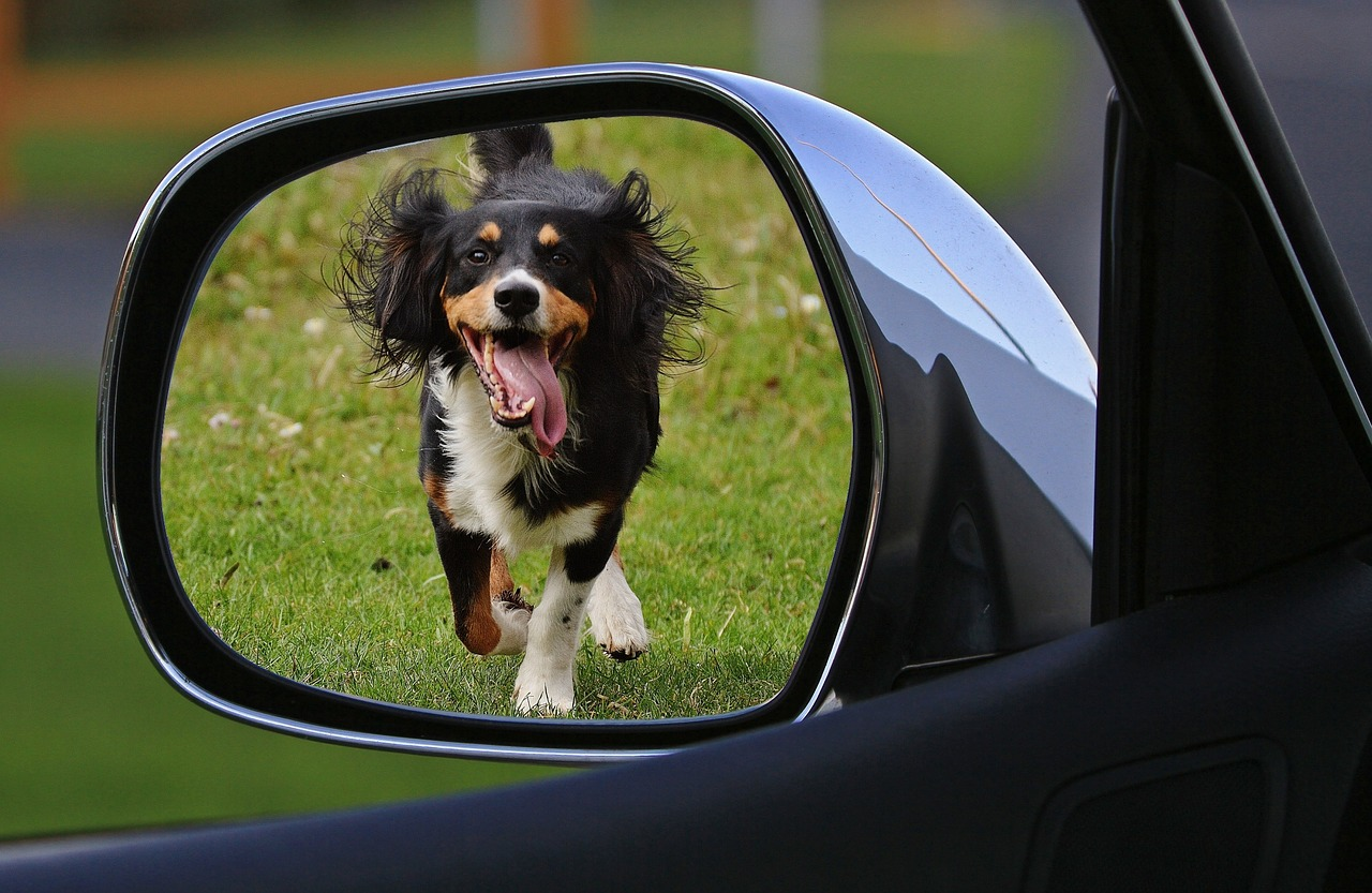 dog in rearview